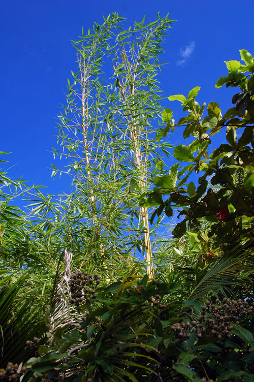 Bamboe4