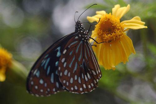 Butterfly_iii